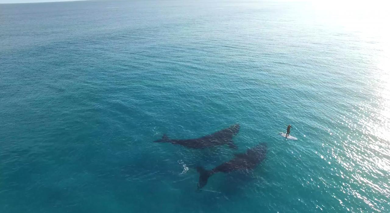 Серфер плавает рядом с гигантскими китами